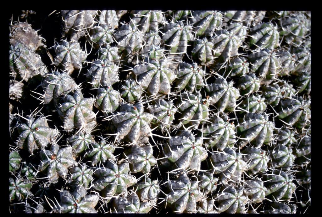 2001_Morocco Cactus